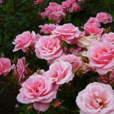 храст розови рози за текст от поредицата за традиционни български ястия