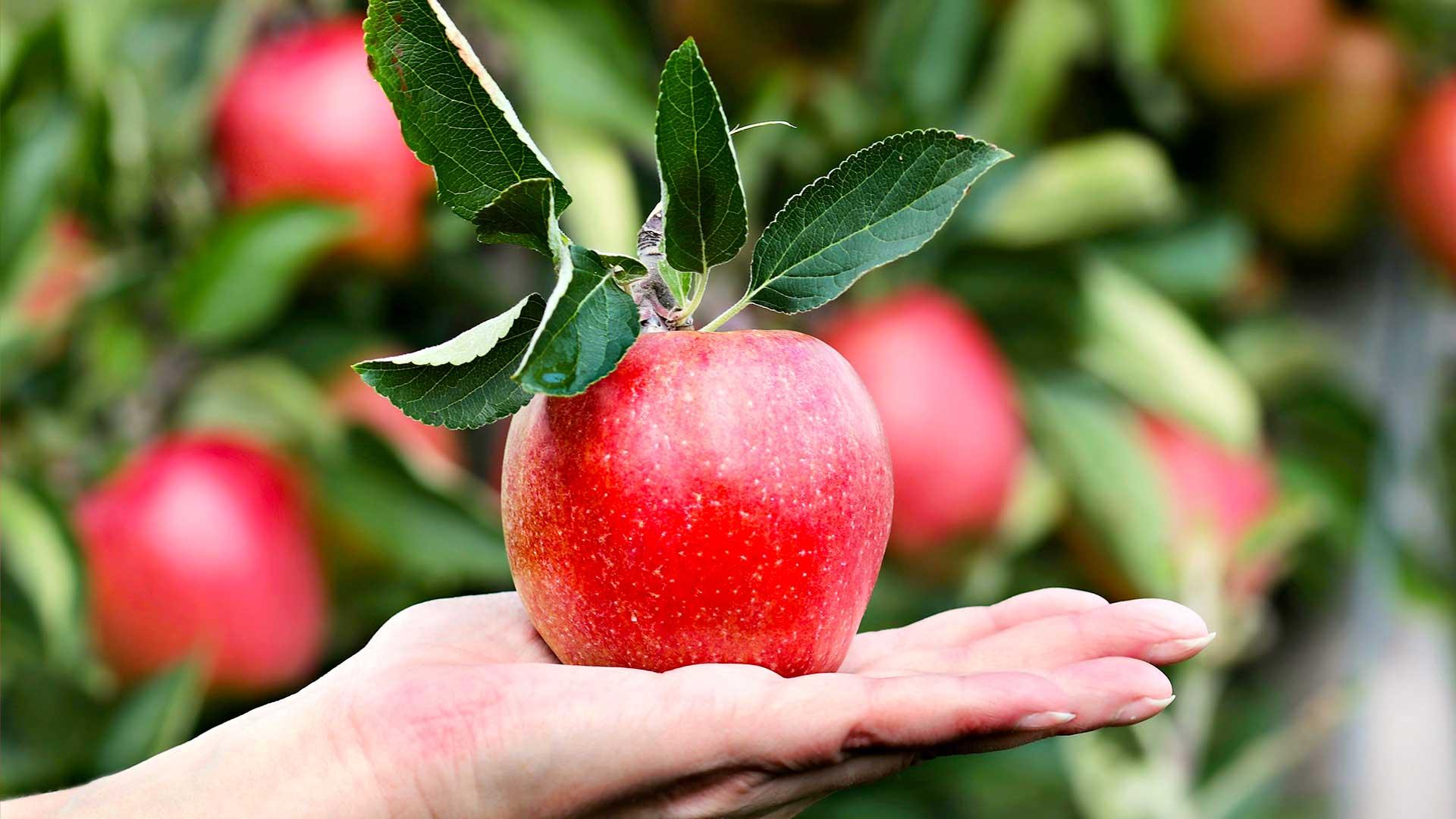Червена ябълка в женска ръка