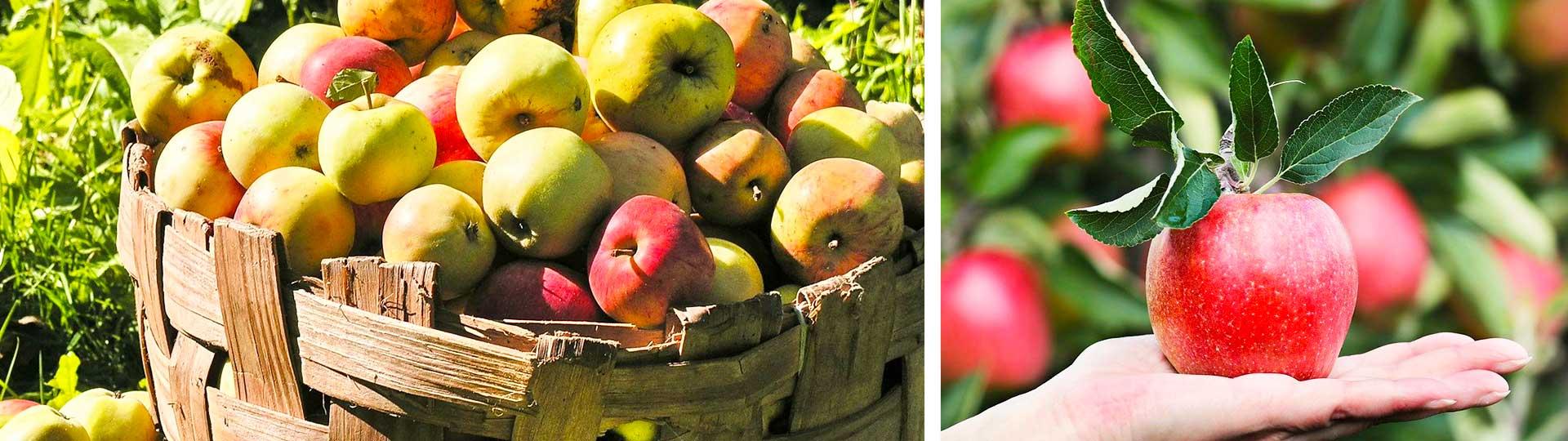 Две фотографии на ябълки в кош и ръка с червена ябълка